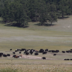 Herd of Yaks Thumbnail