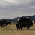 Yaks walking thumbnail