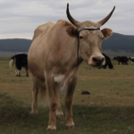 Cow mooing thumbnail