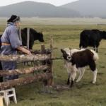 Dalaimyagmar milking a yak thumbnail