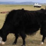Yak grazing