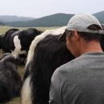 Byambaa milking thumbnail