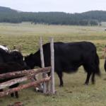 Milking Yaks 1 thumbnail
