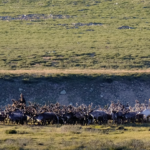 Reindeer herd returning thumbnail