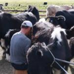 Byambaa milking 4