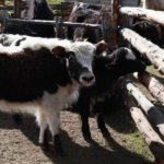 Yak calves