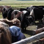 Milking Yaks 4