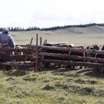 Milking Yaks 5