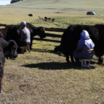 Milking Yaks 8