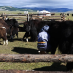 Milking Yaks 9