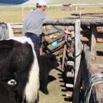 Releasing Calf