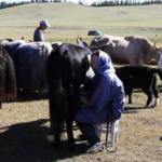 Milking Yaks 10