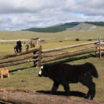 Yaks walk out from fence