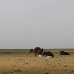 Yaks in pasture