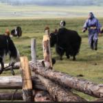 Herding yaks into fence