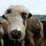 Milking Yaks-1