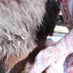Goat milking-2