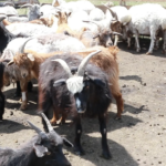 Goat milking-3