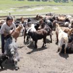 Goat milking-4