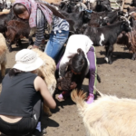 Goat milking-6