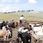 Goat milking-7