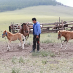 Milking mares (Khövsgöl)