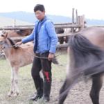 Milking mares (Khövsgöl)-2