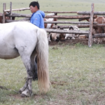 Milking mares (Khövsgöl)-3