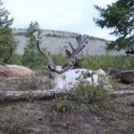 Resting reindeer-1