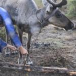 Milking reindeer
