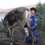 Milking reindeer-1