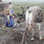 Milking reindeer-2