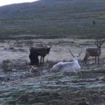 Milking reindeer-7