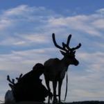 Reindeer milking-9