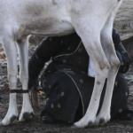 Reindeer milking-10