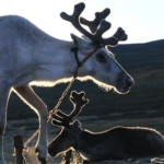 Reindeer portrait-2