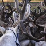 Reindeer herding-1