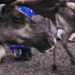 Reindeer herding-2