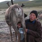 Reindeer milking-11