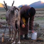 Reindeer milking-12